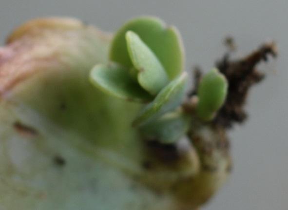 胡蝶の舞、親株の葉が落ちて育ってる子株の写真