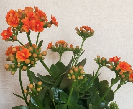 良く見かけるカランコエの写真(オレンジの花)