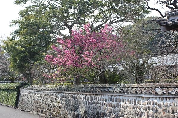 神代小路地区の街並み、石垣と緋寒桜の写真