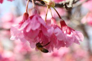 緋寒桜とミツバチの写真