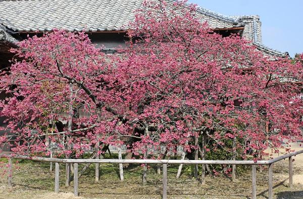 鍋島邸の大きな緋寒桜の写真