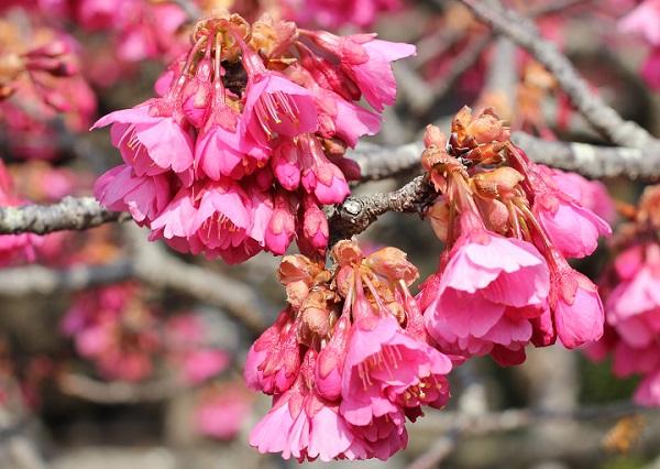 緋寒桜の枝と花の写真