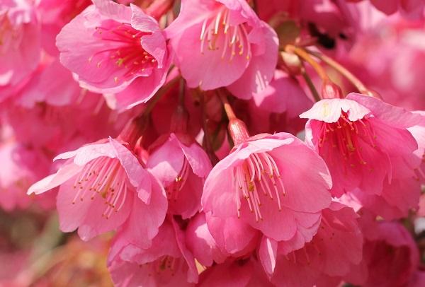 緋寒桜の美しいアップ写真