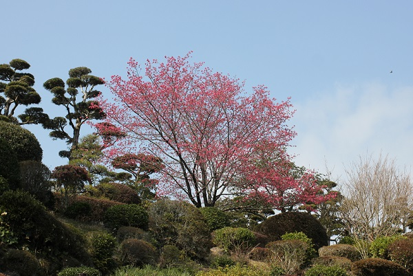 鍋島邸、築山の緋寒桜の写真