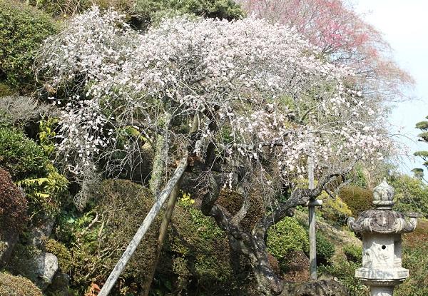 鍋島邸のしだれ梅の写真