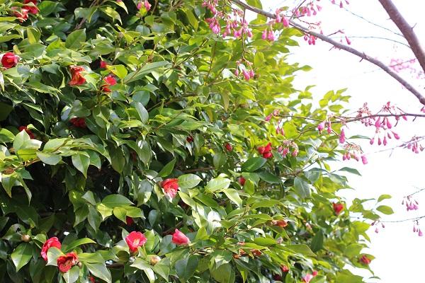 鍋島邸、椿と緋寒桜の写真