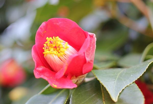 鍋島邸、椿のアップ写真