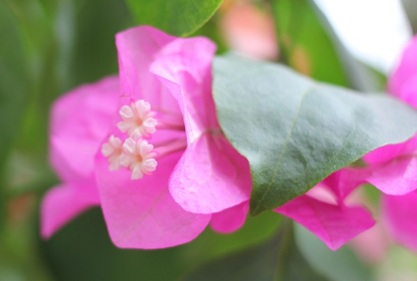 ブーゲンハウス嬉野、ピンクのブーゲンビレアの花 アップ写真