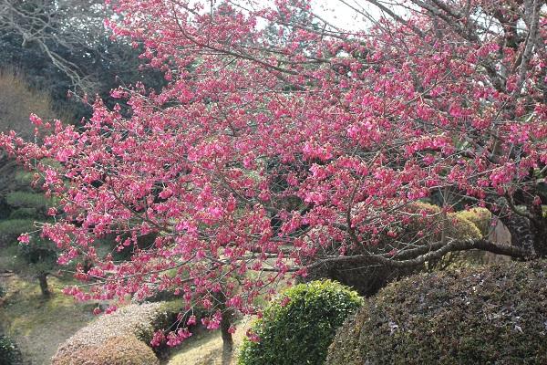 鍋島邸の庭に咲く緋寒桜の写真