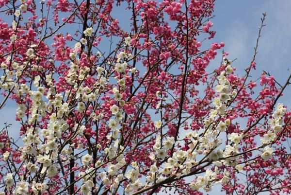 緋寒桜と白い梅のコラボレーションの写真