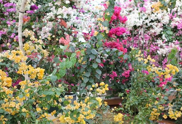 ブーゲンハウス嬉野、色とりどりのブーゲンビレアとカリフォルニアゴールドの写真