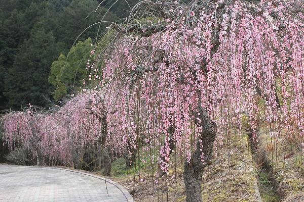 みゆき梅林園、しだれ梅の並木の写真