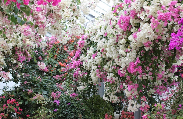 ブーゲンハウス嬉野、白、ピンク、オレンジなど色とりどりのブーゲンビリアの写真