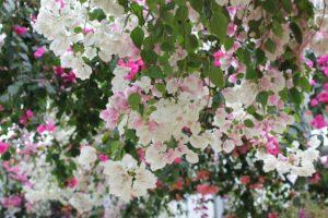 白とピンクのブーゲンビレアの写真