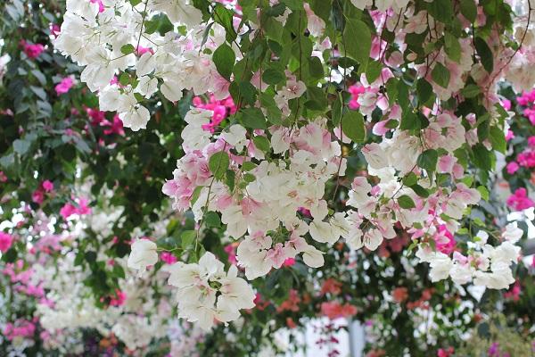 ブーゲンハウス嬉野、白とピンクのブーゲンビレアの写真