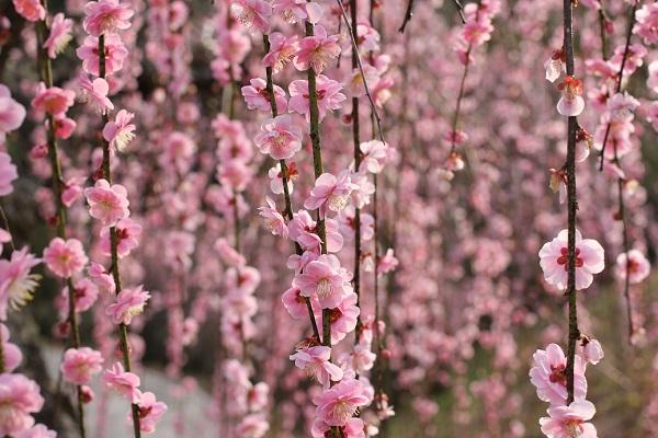満開のピンクのしだれ梅、近くで映した美しい写真