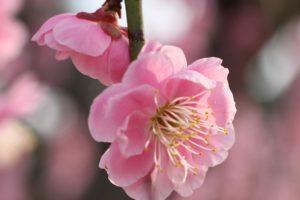 みゆき公園のしだれ梅のアップ写真