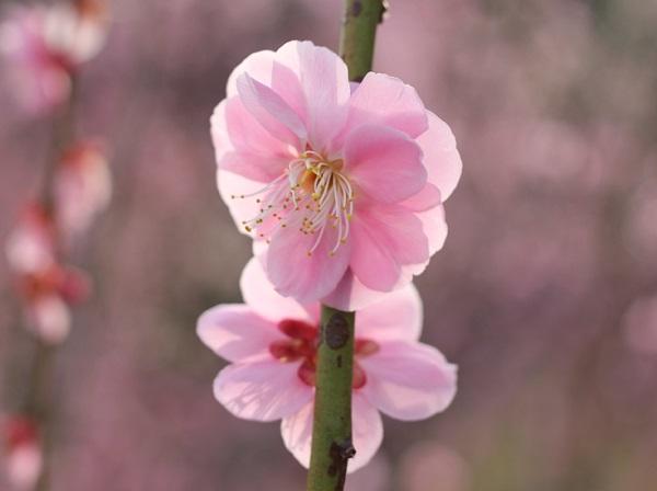 みゆき梅林園、ピンクのしだれ梅のアップの写真