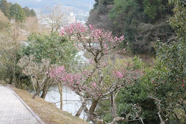 ピンクの梅と池の背景写真