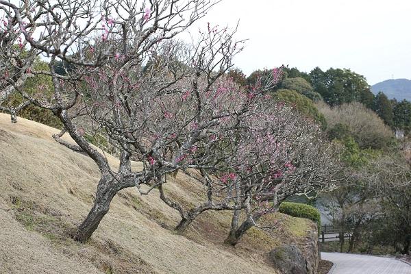 みゆき梅林園、紅梅の写真