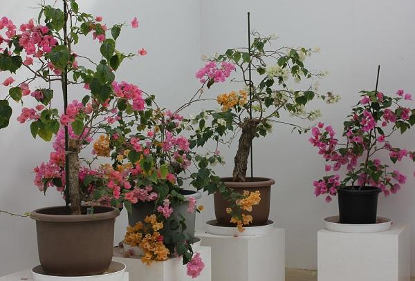 ブーゲンハウス嬉野、園内で販売されていたブーゲンビリアの植木の写真