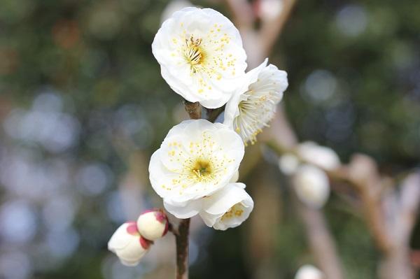 みゆき梅林園、白梅のアップ写真