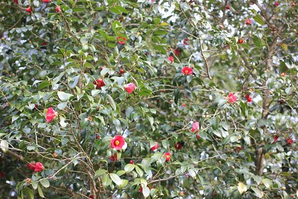 みゆき梅林園、椿がたくさん咲いてる写真