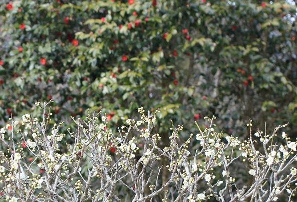 みゆき梅林園、白梅と椿の写真