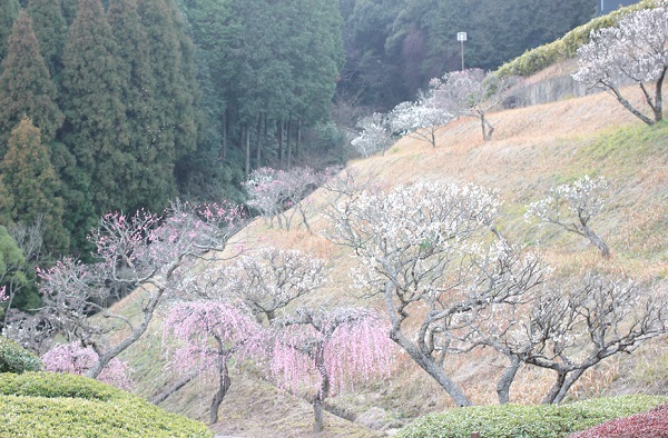 豊かな自然とと梅林の様子の写真