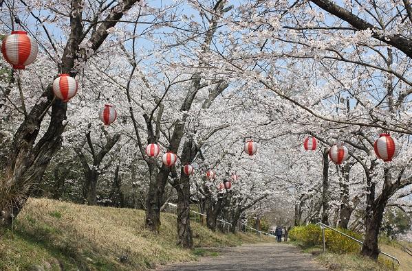 眉山治山祈念公苑、桜のトンネルと提灯の写真