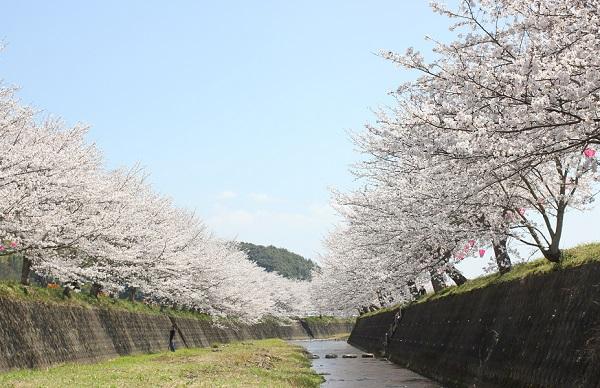 琴海戸根川沿いの桜並木と川の写真