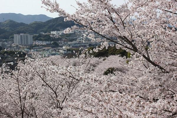 中尾城公園、桜と長与の街並みの写真