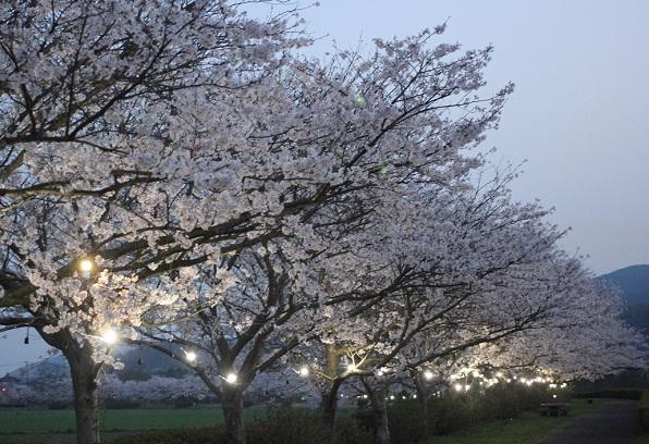桜づつみロード、桜の並木道の写真