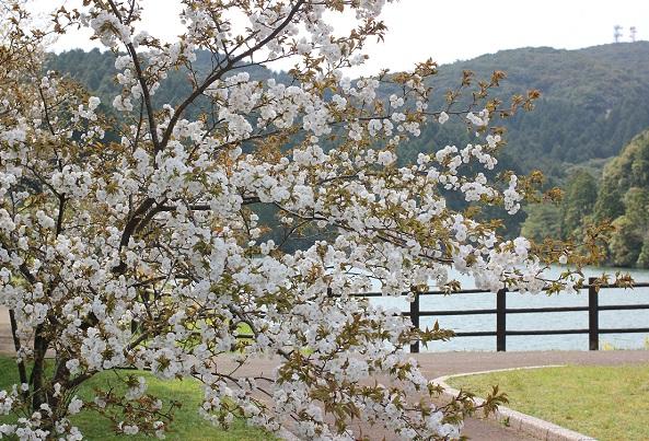 琴海赤水公園、八重桜と池の写真