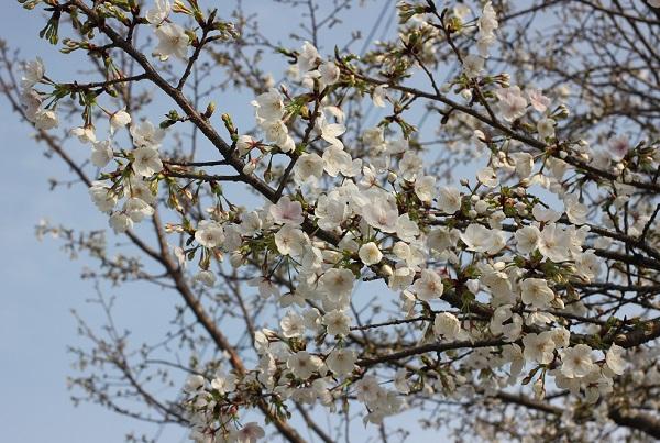 香焼チューリップまつり会場周辺にある桜の写真