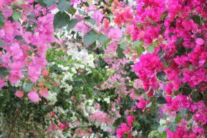 ブーゲンビリアの花のトンネルの写真