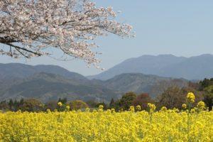 山々を背景とした西都原の菜の花と桜の写真