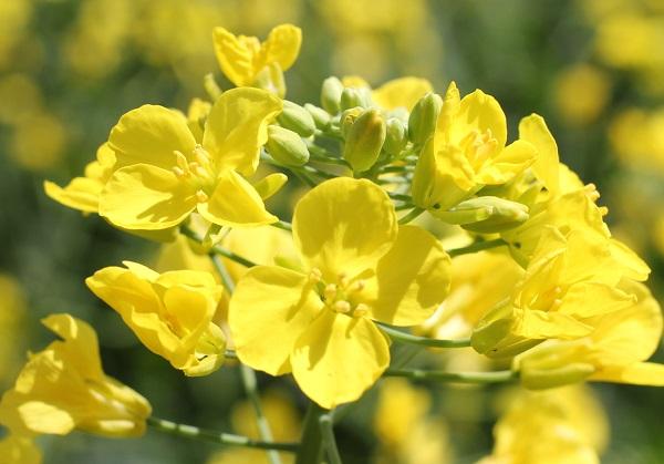 西都原の菜の花のアップ写真