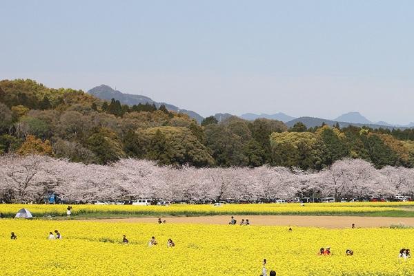 男狭穂塚、女狭穂塚古墳の前にある桜並木と菜の花畑の写真