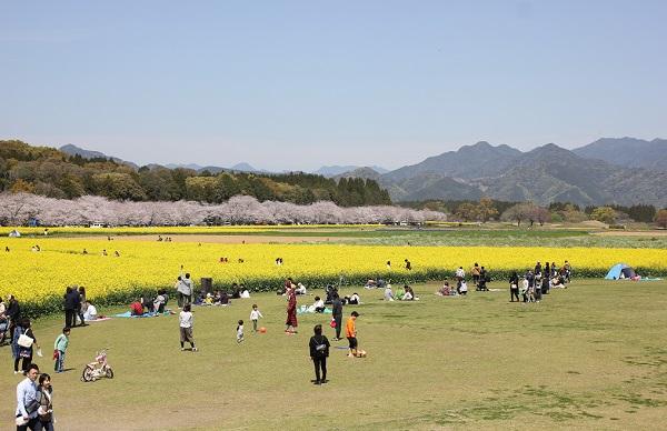 鬼の窟古墳の上から見た桜・菜の花・広場風景の写真