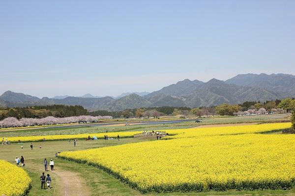 西都原公園の菜の花、桜、山並みの風景写真