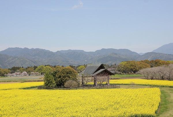 鬼の窟古墳の上から見た菜の花畑と桜と山の写真