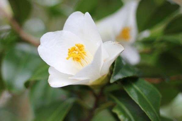 白石記念椿園、真っ白な椿の写真