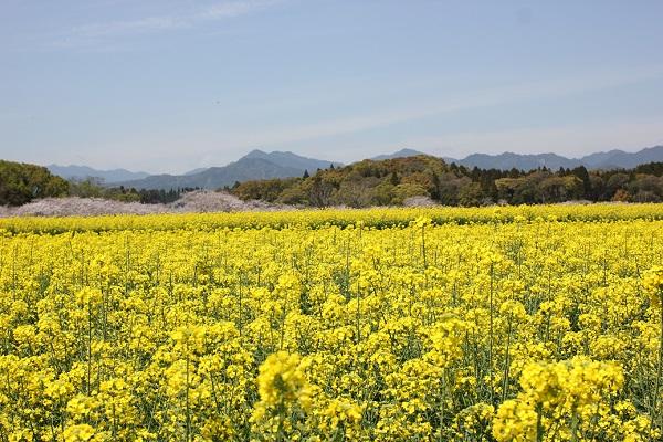西都原の菜の花畑の風景写真