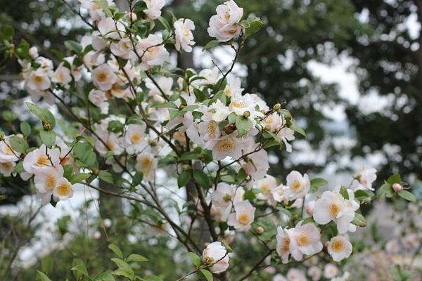 白石記念椿園、軟風がたくさん咲いてる写真