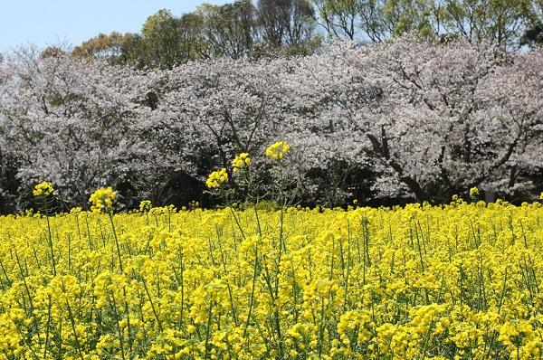 西都原、菜の花畑と桜の写真