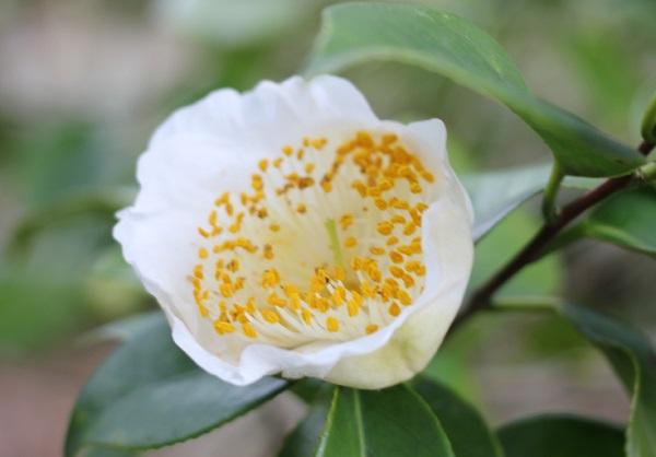 白石記念椿園、白の一重 雄しべが多い綺麗な椿のアップ写真