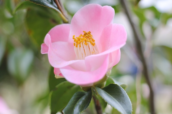 白石記念椿園、愛らしいピンク、一重咲きの椿のアップ写真