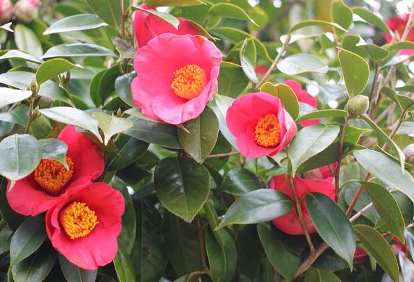 白石記念椿園、赤い椿がたくさん咲いている写真
