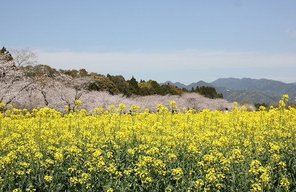 西都原、桜と菜の花畑の写真